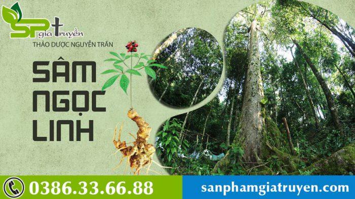 sam-ngoc-linh-thuong-moc-o-dau-1