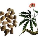 Các bài thuốc chữa bệnh từ Tam thất bắc