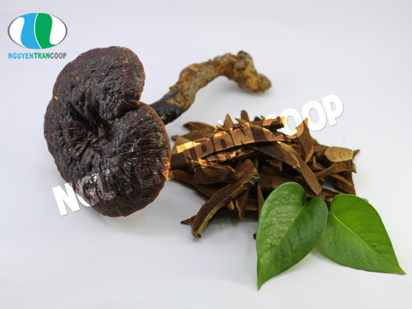 Nấm Lim Xanh loại nấm quý rất tốt cho sức khỏe