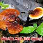 Nấm Lim Xanh chữa bệnh gì?