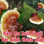 Nấm Lim Xanh là gì? Chữa được bệnh gì? Cách dùng