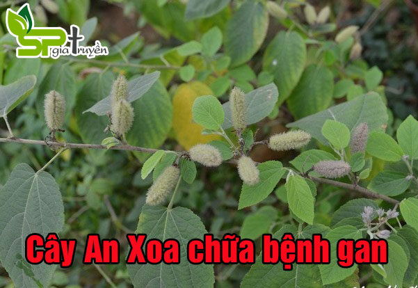 cay-an-xoa-chua-benh-gan