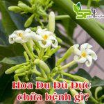 Hoa Đu Đủ Đực chữa bệnh gì?