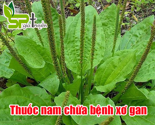 thuoc-nam-chua-benh-xo-gan