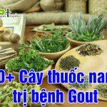 Thuốc nam trị bệnh gout