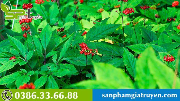 cach-tinh-tuoi-sam-han-quoc-7