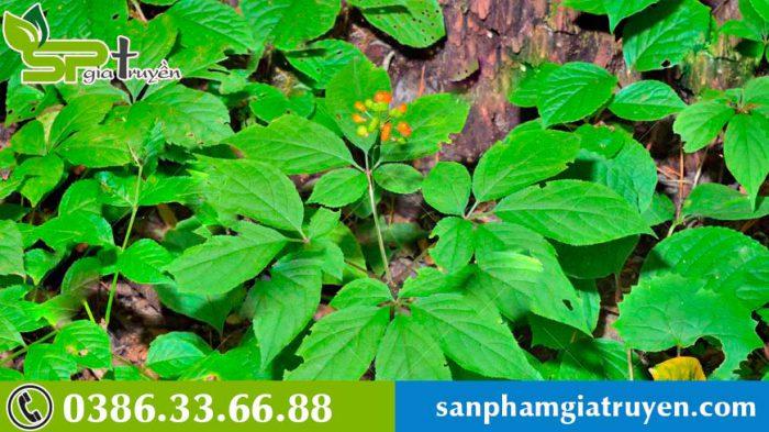 cach-tinh-tuoi-sam-han-quoc-8