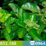 Thông tin chi tiết về cây Lá Gan