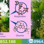 Cây Ưng Bất Bạc: đặc điểm, tác dụng và bài thuốc chữa bệnh gan