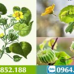 Cây cối xay – Đặc điểm, tác dụng và các bài thuốc chữa bệnh