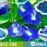 Hoa Đậu Biếc – Loài hoa pha trà dược liệu quý giá